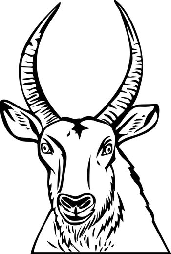 Stencil illustration of head of a Defassa waterbuck, a large antelope found widely in sub-Saharan Africa, viewed from front on isolated background done in black and white retro style.