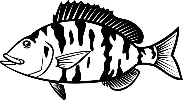 Cartoon style illustration of a pigfish, Orthopristis chrysoptera or piggy perch a member of the grunt family found in Atlantic coast of the United States, side view isolated done in black and white.