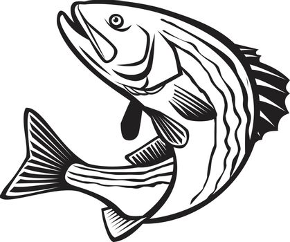 Retro style illustration of a striped bass, Morone saxatilis, Atlantic striped bass, striper, linesider, rock or rockfish, an anadromous perciform fish jumping up isolated done in black and white.