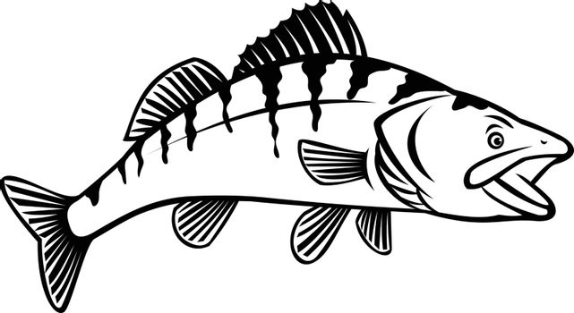 Stencil illustration of a walleye, yellow pike or yellow pickerel, a freshwater perciform fish native to Canada and United States, side view on isolated white background black and white retro style.