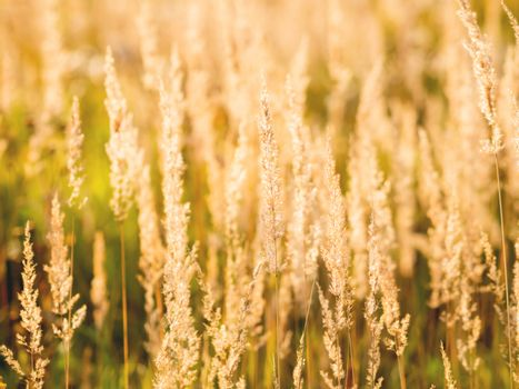 Natural autumn background with dried grass on field. Warm fall season. Sunset light.