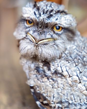 Closeup Of Beak Of Tawning Frogmouth