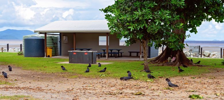 A flock of black cockatoos eating beside a public picnic area at a beach