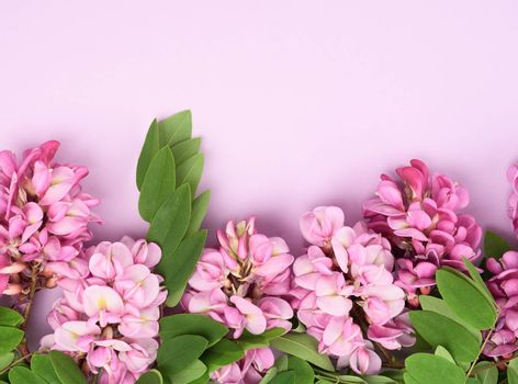 flowering branch Robinia neomexicana with pink flowers on a purple background, top view, copy space