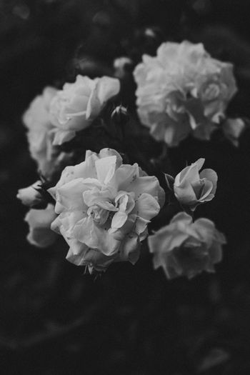 Dark white roses in black and white wallpaper with copy-space