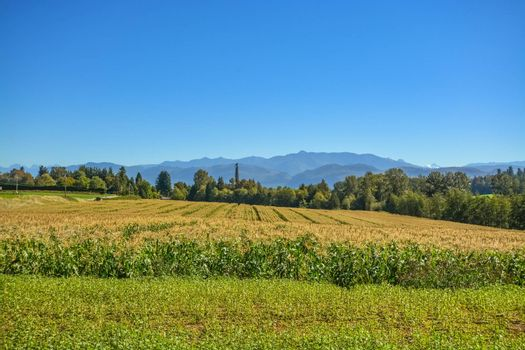Farm field of corn with mountain view on blue sky background