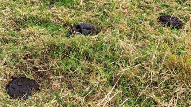 Cow dung pats amongst the grass on a dairy farm