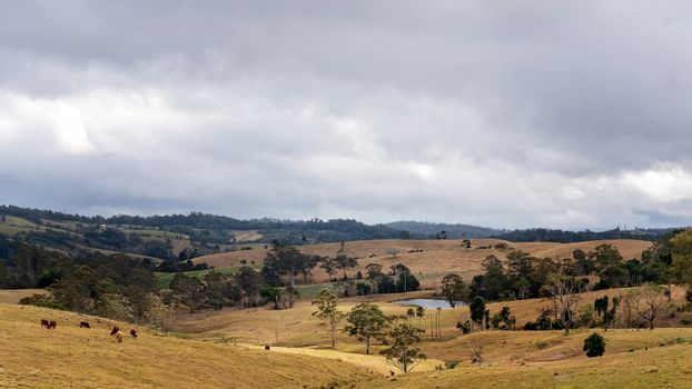 A dam in a valley amongst rolling hills with dairy cattle grazing in the paddock