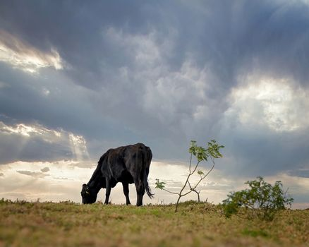 A black dairy cow grazing on a hillside with a stormy sky background