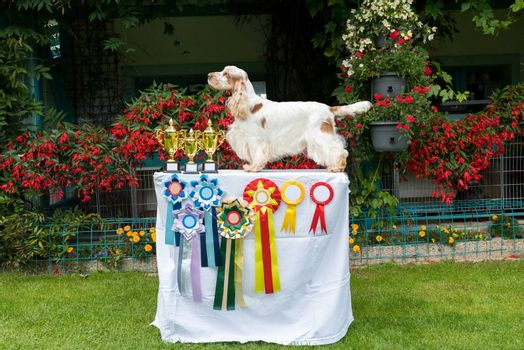 outdoor portrait of english cocker spaniel in exhibition pose, european champion with cups and medals on breeding station