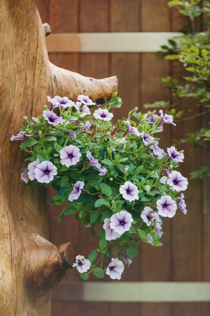 violet flower Petunia Surfinia in late summer garden, hanged in pot on tree trunk