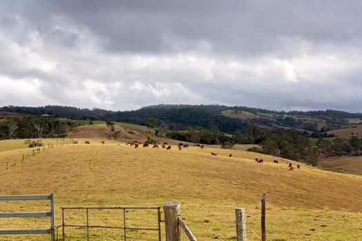 Dairy cows grazing on a hillside on a rural dairy property in the mountains