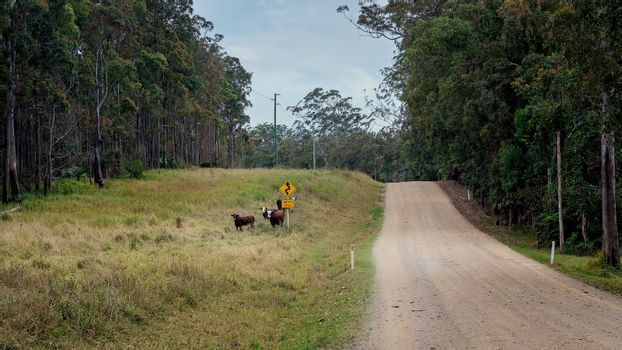 Dairy cows in an unfenced paddock beside a sign warning of a winding dirt road ahead