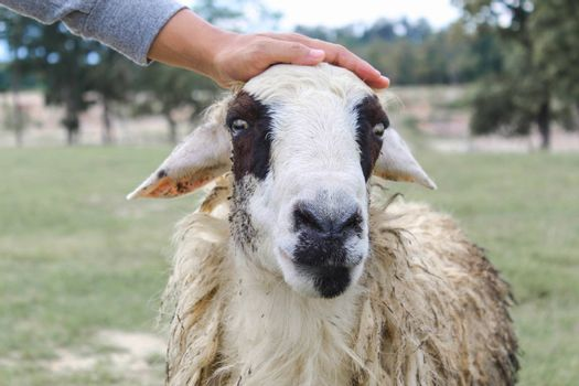 Hand of farmers touching on sheep's head in green field. Animal lovely Concept.