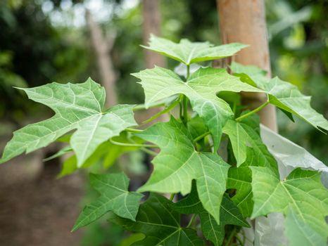 The Chaiya tree in the garden. Tree spinach or Mexican Kale, Vegetables that have high nutritional value.