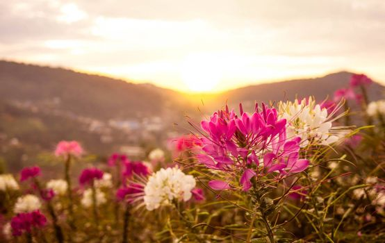 Beautiful mountain landscape with sunrise and blossoming purple and white flowers on spring field.