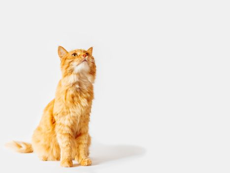 Cute ginger cat sits and stares on something. Fluffy curious pet. Fuzzy domestic animal on white background with copy space.
