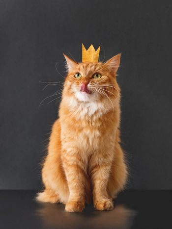 Cute ginger cat with awesome expression on face and golden crown on head posing like lion on black background. Fluffy pet licks its lips.