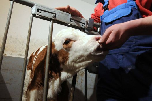 calf behind the fence gets fed by the farmers hand