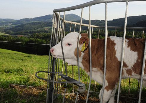 calf in an outside cowshed sticking it's head through the fence