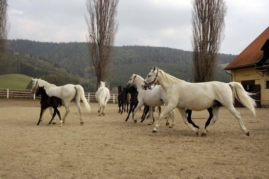 Lippizan horse breed with their foals running on a paddock