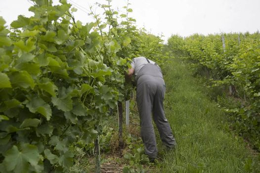 wine maker is cutting vine on a green vineyard in summer