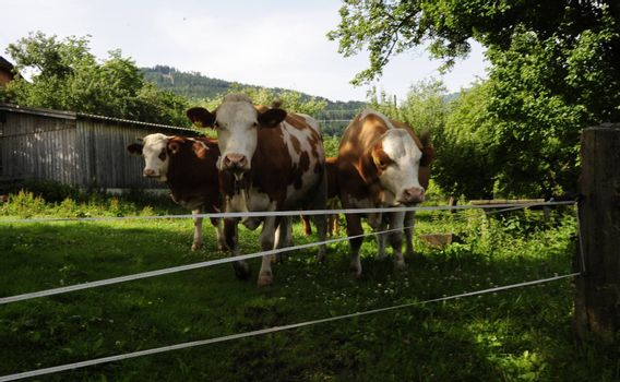 Herd of cows in the alps in front of an electric fence