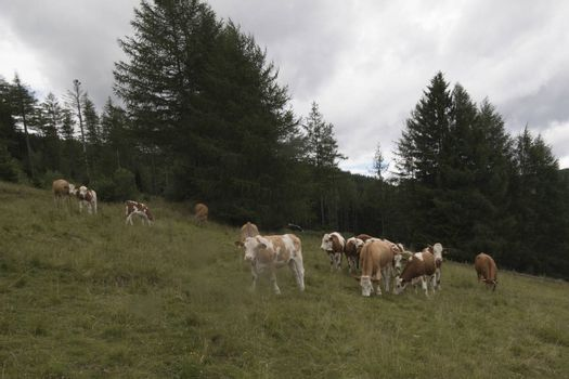 a herd of cows grazing on a meadow in the alps