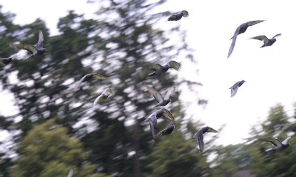 flock of doves flying in the sky, trees in the background