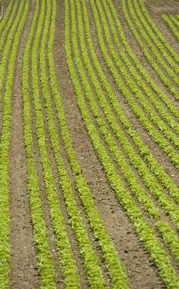green salad field, long rows of lettuce in agricultural production