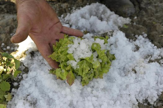 hail damage in salad crops, farmer showing big hailstones and damaged plants