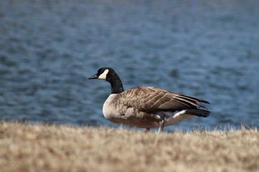 Wild Goose playing in the Ta-Ha-Zouka Park . High quality photo