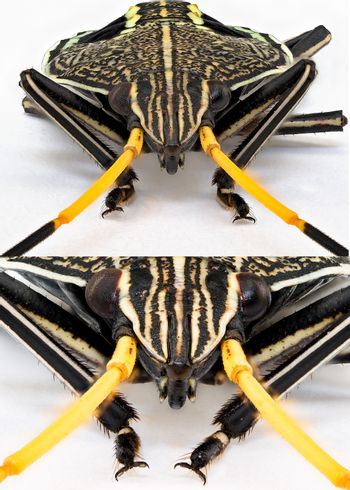 Collage of images in ultra macro of an Orange Black Stink Bug isolated on a white background