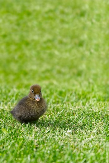 Small newborn ducklings walking on backyard on green grass. Brown cute duckling running on meadow field in sunny day. Banner or panoramic shot with duck chick on grass