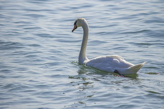 Close up of a Swan in the lake water in summer time