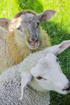 White and brown woolly sheep in meadow in Hemsedal, Viken, Norway. Very cute.