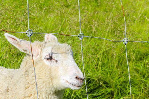 Sheep behind fence in a meadow in Hemsedal, Viken, Norway.