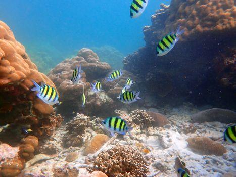 Sea fish with corals in sea, underwater landscape with sea life