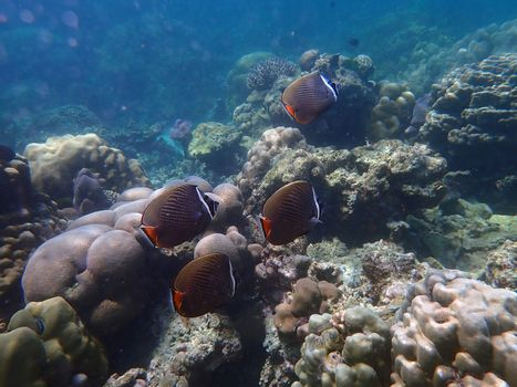Redtail butterflyfish with corals in sea, underwater landscape with sea life