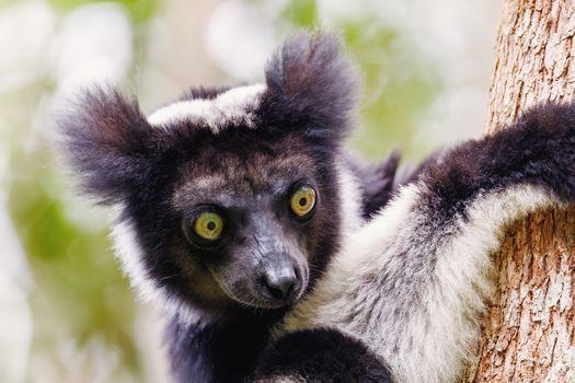 head of Black and white Lemur Indri (Indri indri), also called the babakoto, hanged on tree in natural habitat. Andasibe - Analamazaotra National Park, Madagascar wildlife