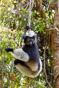 Black and white Lemur Indri (Indri indri), also called the babakoto, hanged on tree in natural habitat. Andasibe - Analamazaotra National Park, Madagascar wildlife