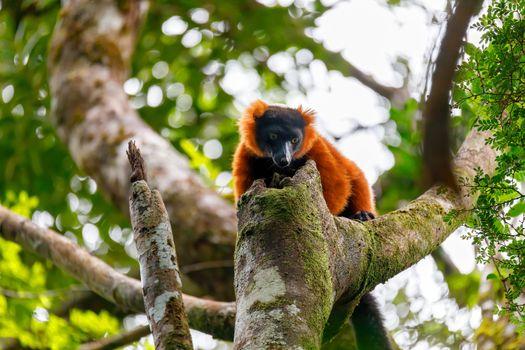 Madagascar Red ruffed lemur, Varecia rubra, on tree top. Masoala rainforest, Madagascar wildlife