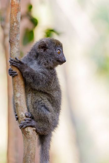 Eastern lesser bamboo lemur (Hapalemur griseus) known as the gray bamboo lemur and the gray gentle lemur. Andasibe Madagascar Vakona Private Reserve. Magagascar endemic wildlife and wilderness.