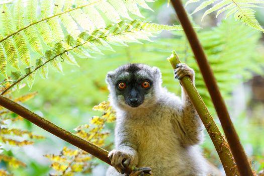 Common brown lemur (Eulemur fulvus) in top of the tree, in natural habitat, Andasibe - Analamazaotra National Park, Madagascar wildlife