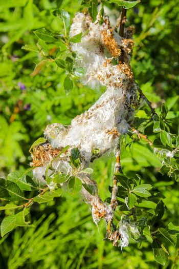 Huge insect nest made of silk thread and weave in Hemsedal, Norway.