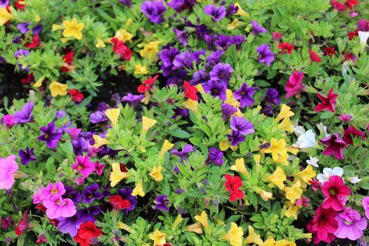 colorful calibrachoa plants in the garden