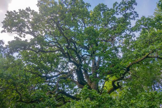 Beautiful green large oak tree against the blue sky