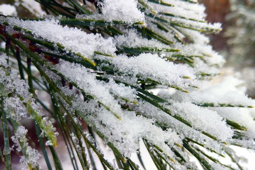 Close-up of a pine branch in the snow