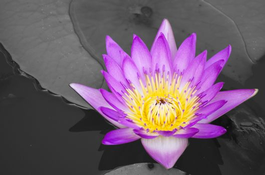 Purple lotus isolated on gray background and texture.