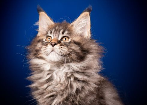 Funny Maine Coon kitten 2 months old looking away. Close-up studio photo of black tabby little cat on blue background. Portrait of beautiful domestic kitty.